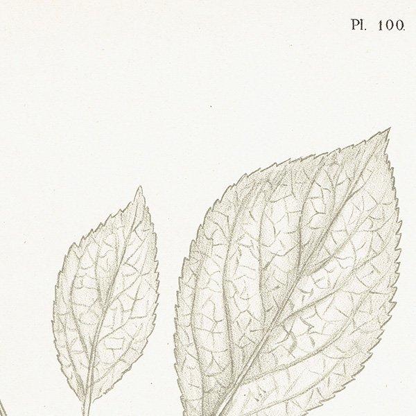 スウェーデン プラムのアンティークボタニカルプリント(Plum)果実学 植物画0161