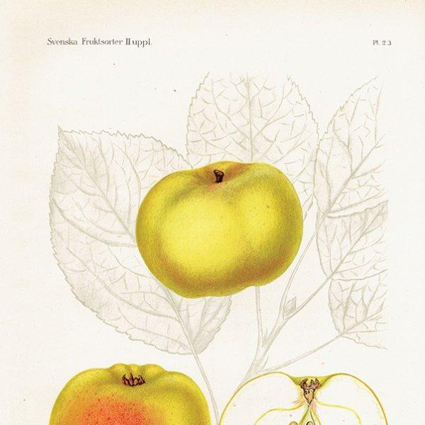 スウェーデン リンゴのアンティークボタニカルプリント(アップル) 果実学 植物画0154