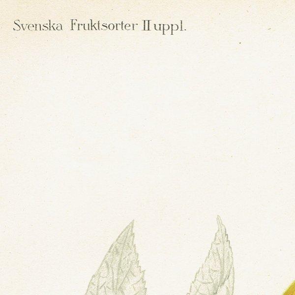 スウェーデン 洋梨のアンティークボタニカルプリント(ナシ)果実学 植物画0158