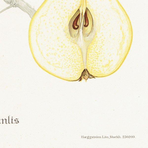 スウェーデン 洋梨のアンティークボタニカルプリント(ナシ)果実学 植物画0159