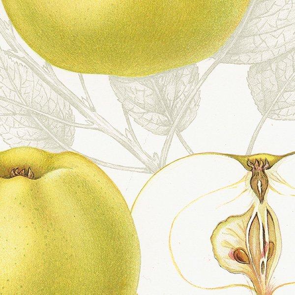 スウェーデン 青りんごのアンティークボタニカルプリント(グリーンアップル)果実学 植物画0166