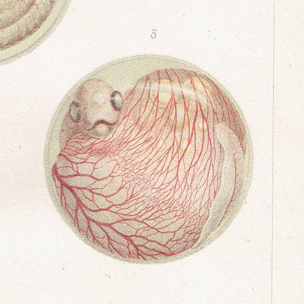 海洋生物アンティークプリント(魚の成長/サーモン) 博物画 0012