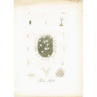 海洋生物アンティークプリント(スコットランドの珍しい海洋生物/手彩色) 博物画|0013