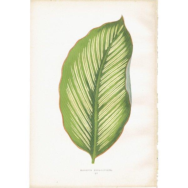 美しい葉のアンティークボタニカルプリント(マランタ)植物画 0167