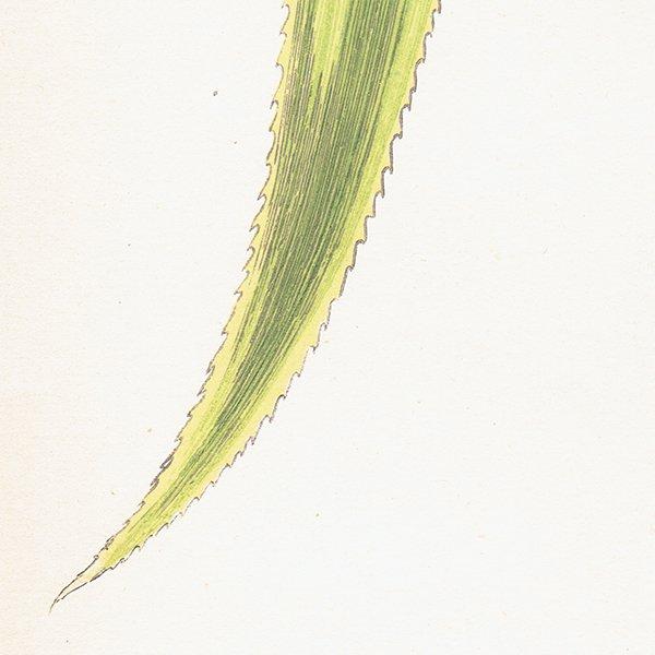 美しい葉のアンティークボタニカルプリント(アナナス属)植物画 0168