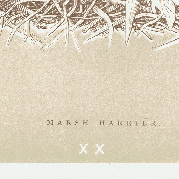 バードエッグ アンティークプリント MARSH HARRIER ヨーロッパチュウヒ(沢鵟)の卵と巣 0017<img class='new_mark_img2' src='https://img.shop-pro.jp/img/new/icons5.gif' style='border:none;display:inline;margin:0px;padding:0px;width:auto;' />
