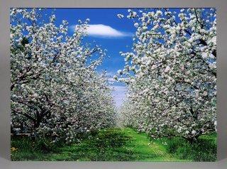 リンゴの花(0465)