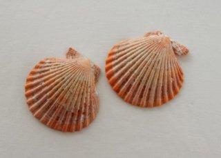 WP180 貝殻(オレンジ)