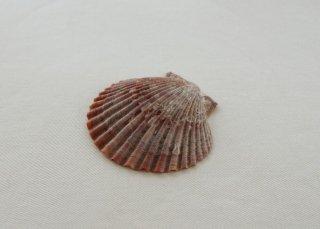 WP181 貝殻(赤)