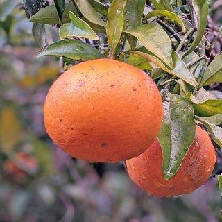 清美オレンジ3kg(贈答用:10-20玉)