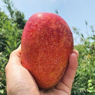 【先行予約】沖縄無農薬マンゴー(アーウィン秀品1kg:2-3個)※チルド冷蔵便・送料込み