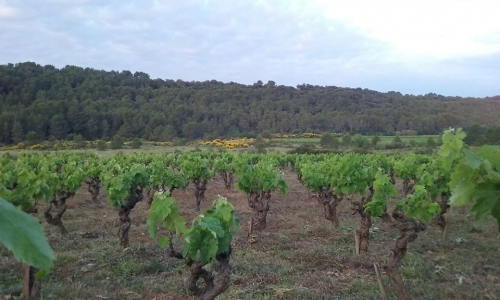 avela vineyard