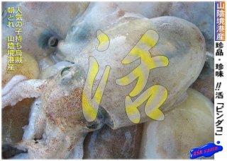 子持ち「ピンダコ3kg」珍品・珍味 活冷凍/境港産