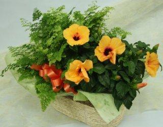 ハイビスカスと観葉植物の寄鉢