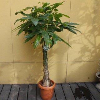 『観葉植物 パキラ』
