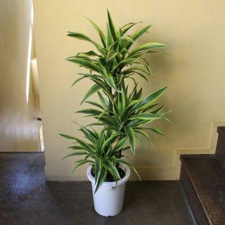 『観葉植物 ドラセナ』