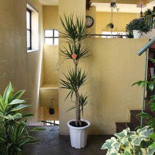『観葉植物 ドラセナ マジナータ(真実の木)』