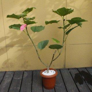 『観葉植物 ウンベラータ ハートリーフ』