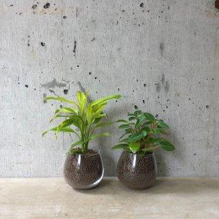 ロッキンググリーン 2個set �(ドラセナ サンデリアーナ・ペペロミア)