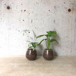 ロッキンググリーン 2個set(マドカズラ・スキンダプサス)