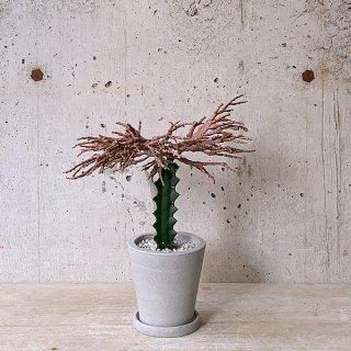 urb pot-TYPE02-S ユーフォルビア プラティクラダ ゾンビ 接木