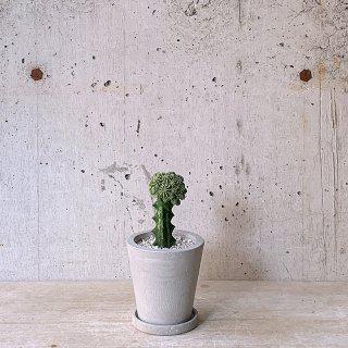 urb pot-TYPE02-S ユーフォルビア セプルタ 接木