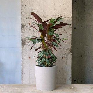 クテナンテ オッペンハイミアナ urb pot TYPE02-M