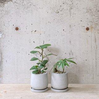 観葉植物小鉢セット(フィカスゴールドコイン・パキラ)�