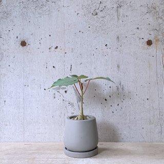 フィカス ペティオラリス� urb pot-TYPE01-S