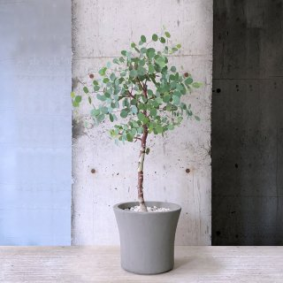 ユーカリ ポポラス (庭木)