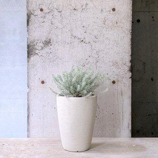 ウエストリンギア 斑入り 白鉢(庭木)