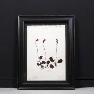 アンティーク  押し花 植物標本 1880年代 フランス(フレームセット / 額装 マットブラック)
