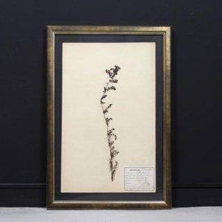 アンティーク  押し花 植物標本 1928年代 フランス(フレームセット / 額装 ヴィンテージゴールド)