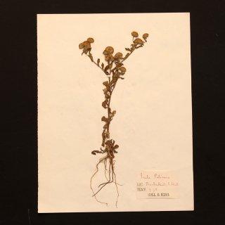 アンティーク  押し花 植物標本 1880年代 フランス