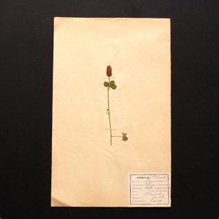 アンティーク  押し花 植物標本 1928年代 フランス