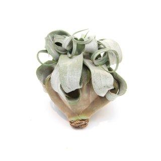 エアプランツ ストレプトフィラ チランジアA(Lサイズ) Tillandsia streptophylla
