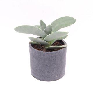 ジントウ(神刀:クラッスラ) 多肉植物