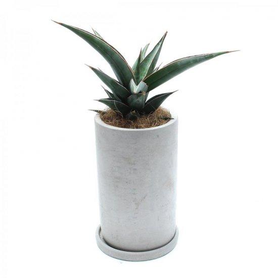 サンスベリア ピンギュイラ Sansvieria pinguicula(ポット・皿セット)