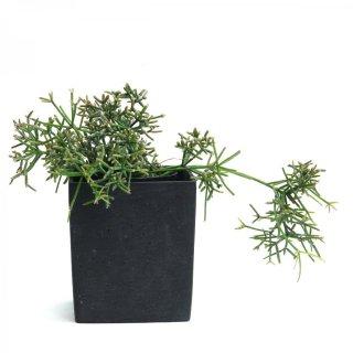 リプサリス 多肉植物