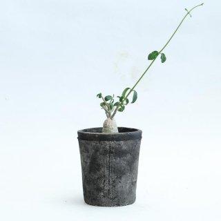 フォッケア エデュリス 火星人 塊根植物