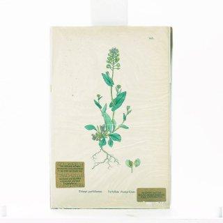 アンティーク  オリジナルカラープリント ボタニカルアート 1880年代 イギリス(145)