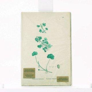 アンティーク  オリジナルカラープリント ボタニカルアート 1880年代 イギリス(26)