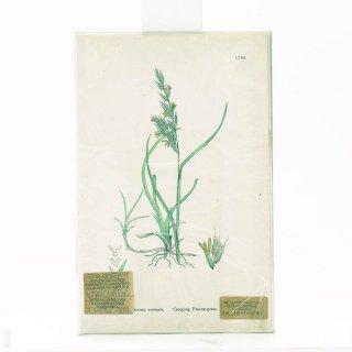 アンティーク  オリジナルカラープリント ボタニカルアート 1880年代 イギリス(1786)