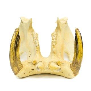 カバ 顎骨 レプリカ 標本 オブジェ アメリカ