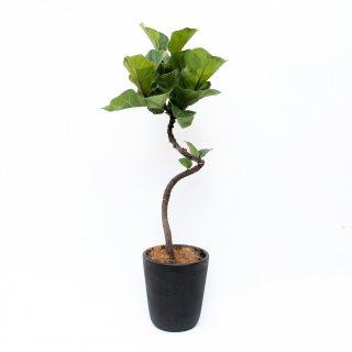 カシワバゴム バンビーノ ひねり  Ficus lyrata