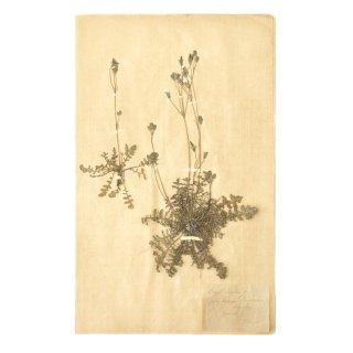 アンティーク  押し花 植物標本 1900年代