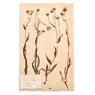 【20%OFF】アンティーク  押し花 植物標本 1900年代