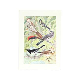 H.J.Slijper 野鳥 アート プリント