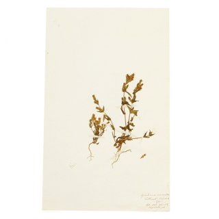 アンティーク  押し花 植物標本 1890年 イギリス