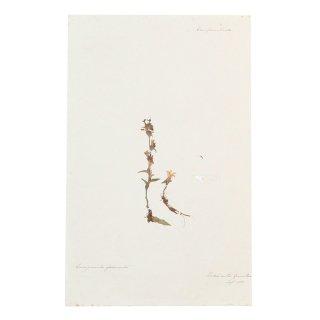 アンティーク  押し花 植物標本 1881年 イギリス